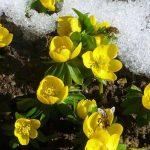 Biene im Frühjahr