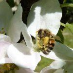 Biene auf Apfelbaum