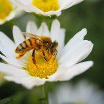 Biene auf Margarite