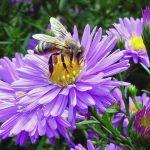 Honigbiene auf Aster