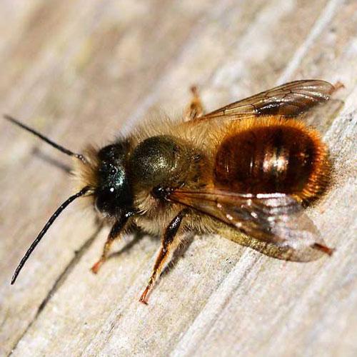 Bee Wild - Rote Mauerbiene