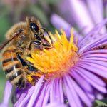 Honigbiene auf einer Aster