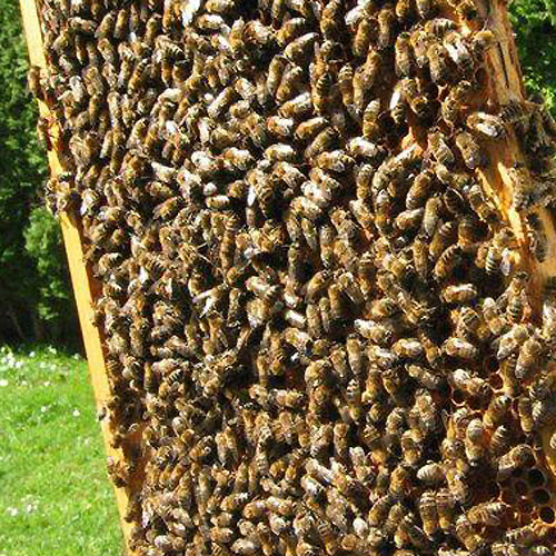 Ihr eigenes Bienenvolk