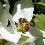Honigbiene auf weissen Blüten