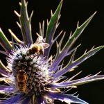 Honigbienen auf einer Diestel