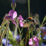 Kleine Biene auf Blüte