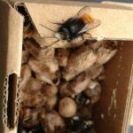 Kokons der Mauerbienen