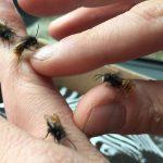 Mauerbiene gerade geschlüpft