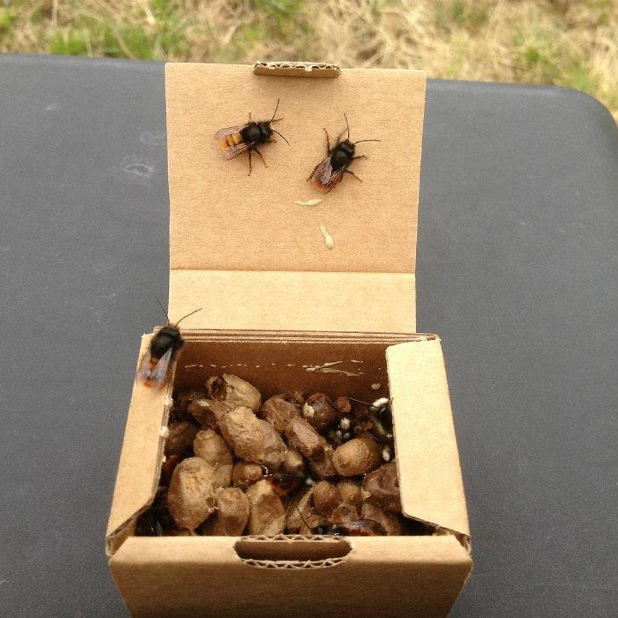 Mauerbienen schlüpfen selbständig