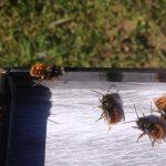 kleine pelzige Mauerbienen