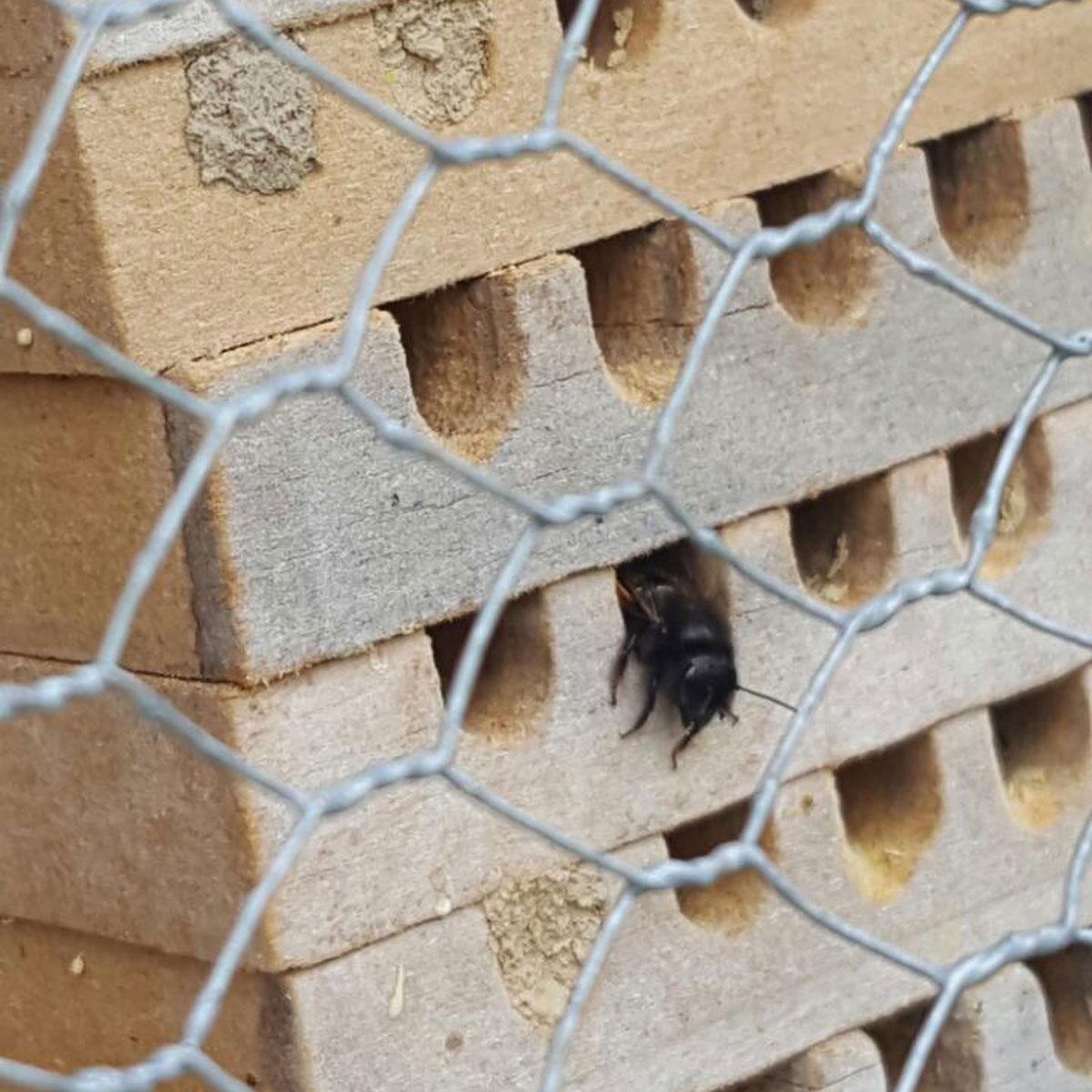 Mauerbiene - Gänge mit Lehm verschlossen