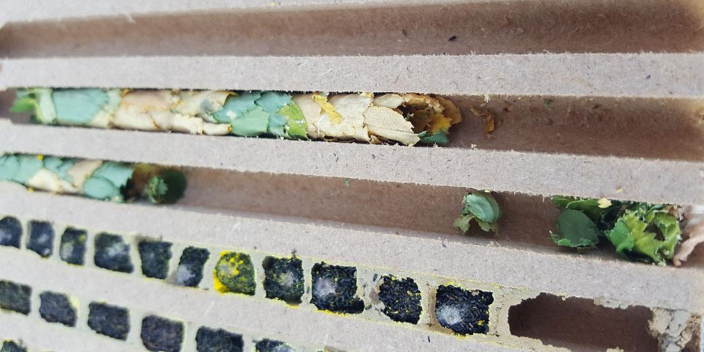 Nistgang mit Blätternest der Blattschneiderbiene