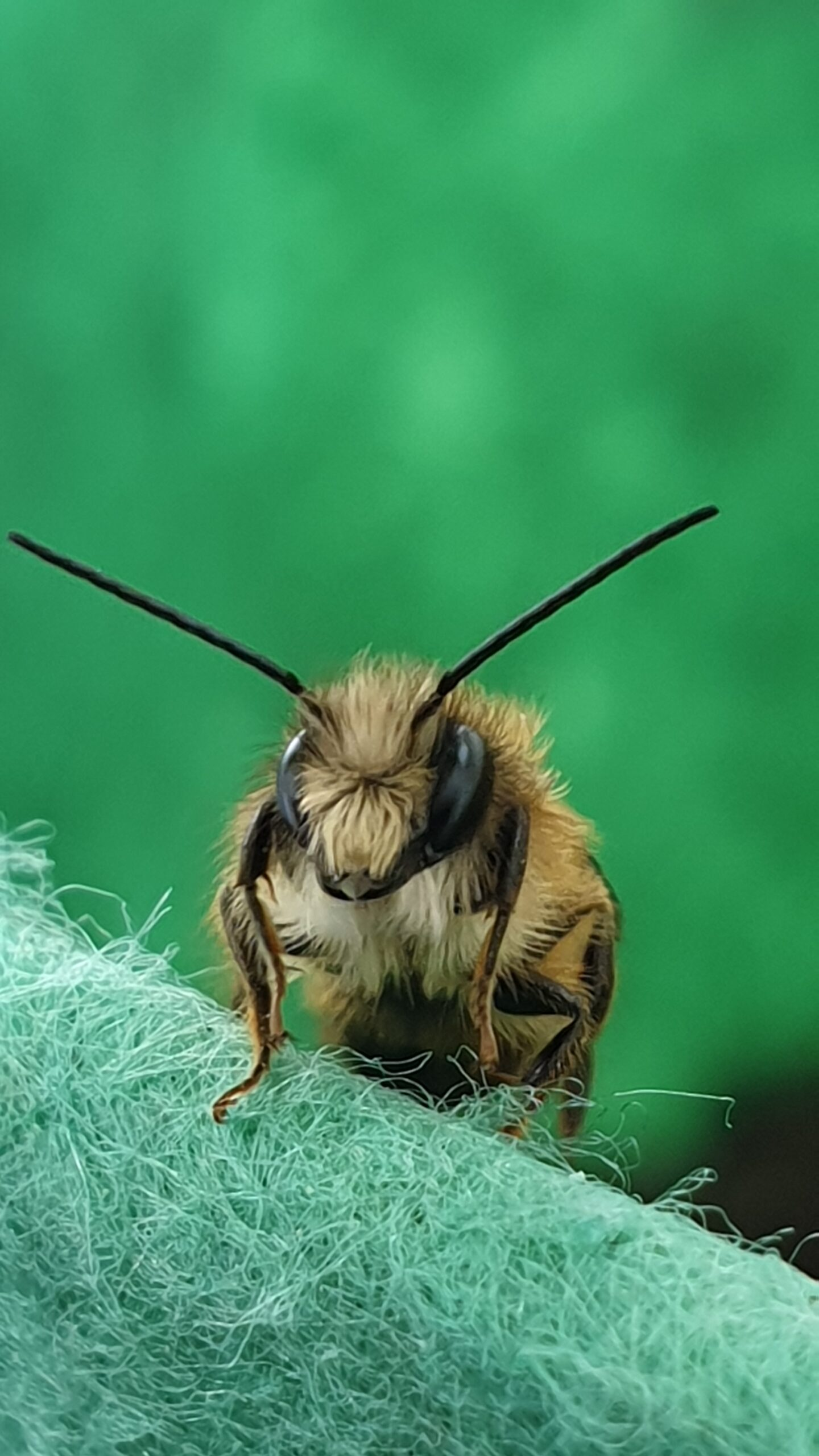Rote Mauerbiene Männchen