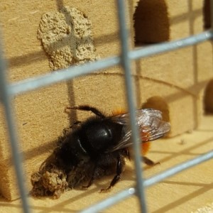 Gehörnte Mauerbiene