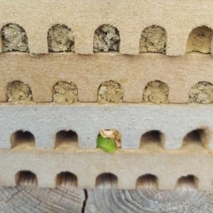 Battschneiderbiene