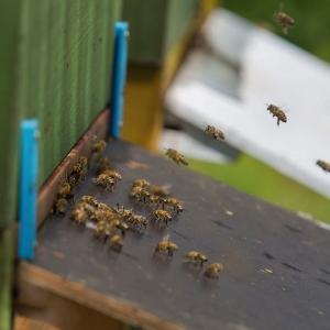 Bee-with-us-Bienen-Anflug