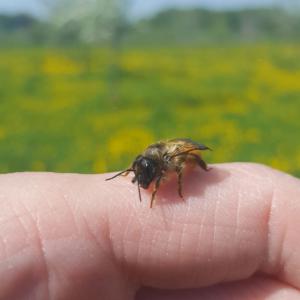 BeeWild-Biene-auf-Hand
