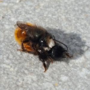 BeeWildWildbiene