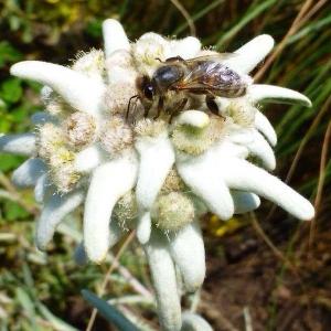 Biene-auf-Enzianbluete
