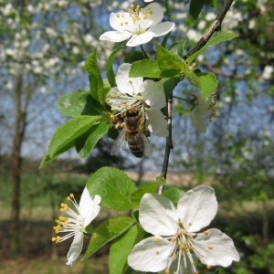 Biene-auf-Obstbaumbluete