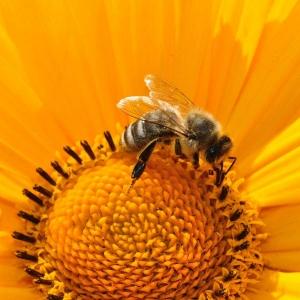 Biene-auf-Sonnenblume