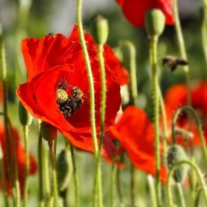 Bienen-auf-Mohnblumen