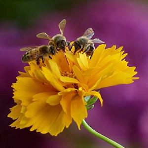 Drei-Bienen-auf-einer-Bluete