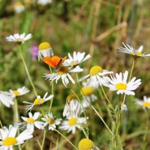 Feldblumen-Schmetterling