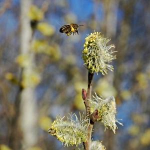 Honigbiene-Fruehjahr
