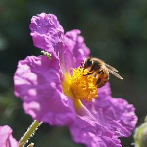 Honigbiene-auf-pinker-Bluete