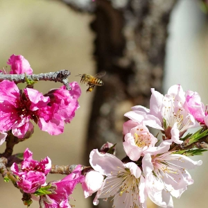 Honigbiene-im-Anflug
