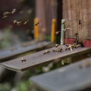Honigbiene-im-Flug