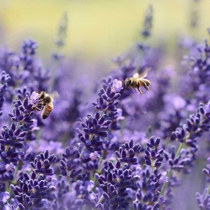 Honigbienen-Lavendel