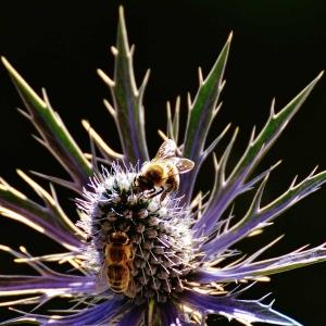 Honigbienen-auf-Distel