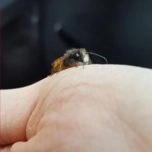 Kleine-Mauerbiene