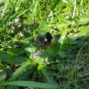 Mauerbiene-auf-Blume