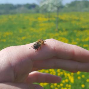 Mauerbiene-auf-Hand