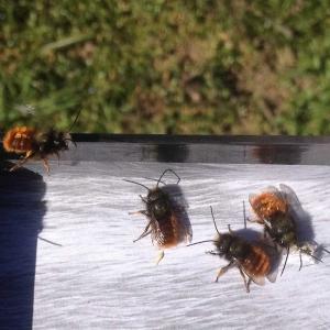 Mauerbienen-im-Flug