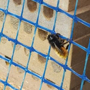 Nistgaenge-Mauerbiene