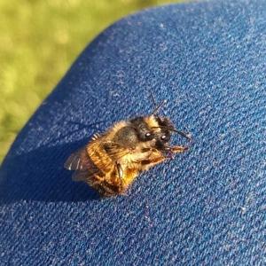 Paarung-Mauerbienen