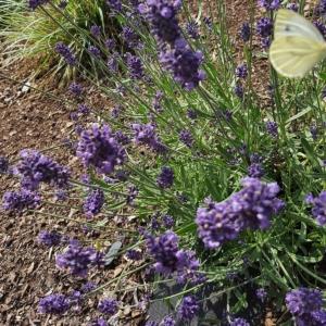 Schmetterling-Lavendelstrauch