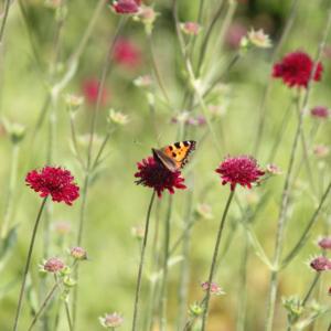 Schmetterling-auf-roter-Bluete
