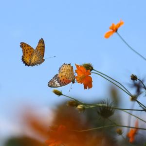 Schmetterlinge-im-Flug