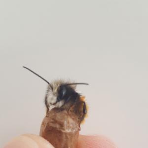 Wildbiene-auf-Daumen