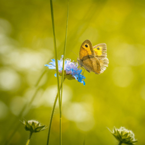 Wildblume-Schmetterling